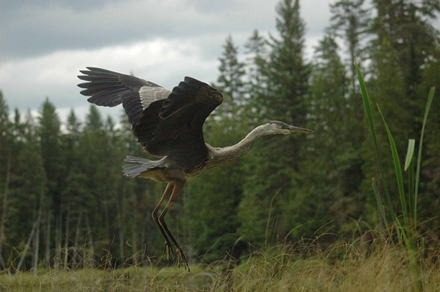 Juvenile blue heron coming in for a landing.