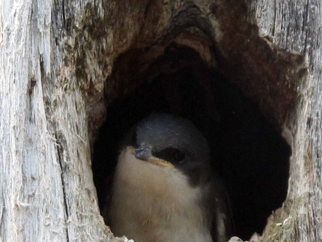 A pair of swallows nests in thie tree every year.  This is one of the 2013 brood.