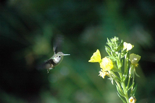 Humming bird in flight 2