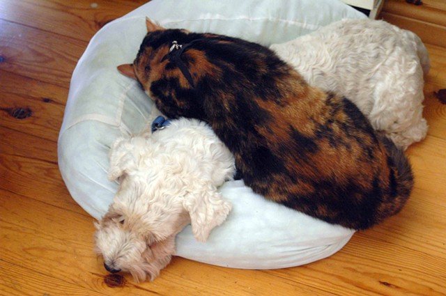 Mishti the kitty and Rosie the terrier catching a nap