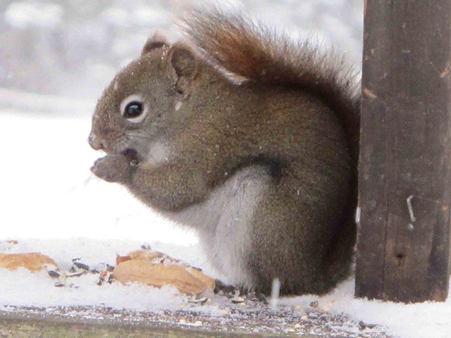 Red squirrel  in the feeder