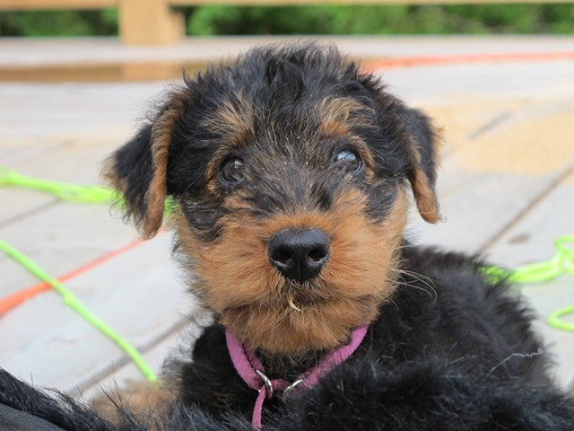 'Jagger' the airedale puppy (8 weeks)