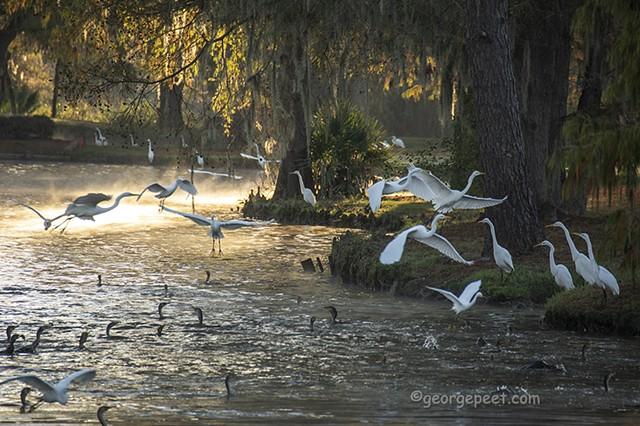 Egrets _11_17_2020 _Kingwood, TX