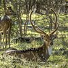Texas Hill Country Deer #1