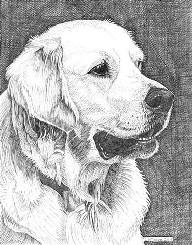 White Golden Retriever, pen and ink drawing by Leslie Moore