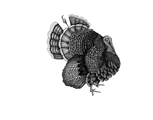 A pen and ink drawing of a male farm turkey by Leslie Moore of PenPets.