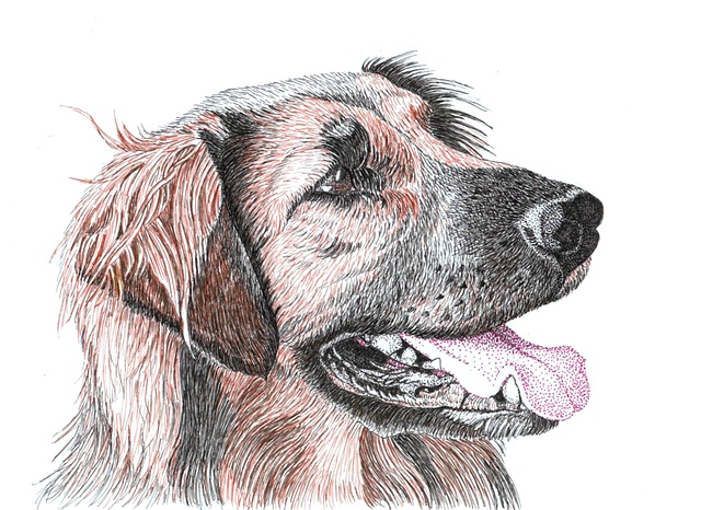 A colored pen and ink drawing of a Leonberger by Leslie Moore