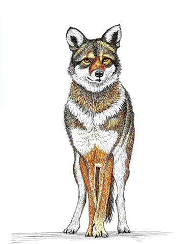 a colored pen and ink drawing of a coyote by Leslie Moore of PenPets