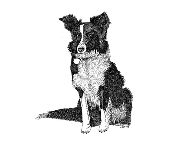 A pen and ink drawing of a border collie by Leslie Moore of PenPets.