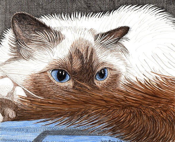 Birman cat image, Birman pen-and-ink drawing, Birman art, cat art, cat pen-and-ink drawing