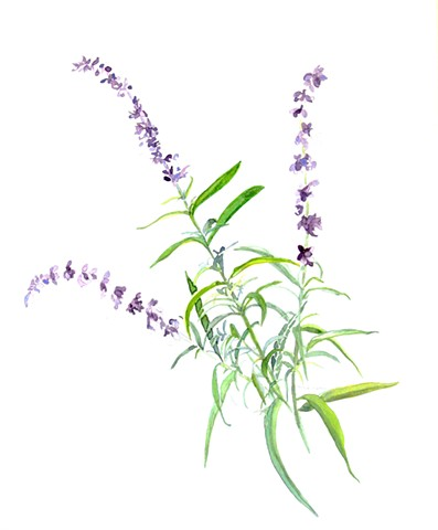Delicate lavender blossoms grace a slender sage green stalk on this Blue Salvia botanical illustration.