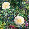 Roses and Clematis - Giverny Series