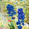 Delphinium: Extra Blue