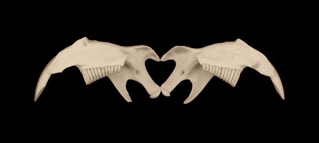 Fleeting Heart (Muskrat Jawbones)