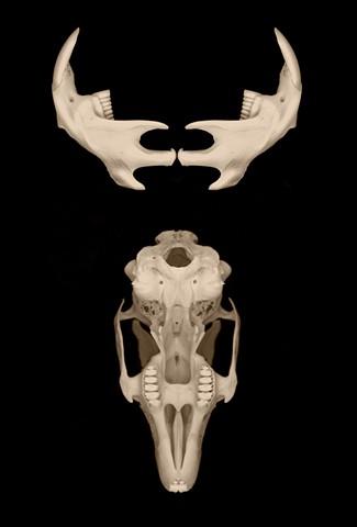 Trickster (Jackrabbit Skull, Muskrat Jawbones)