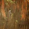 Polar Bear in Mangrove Forest