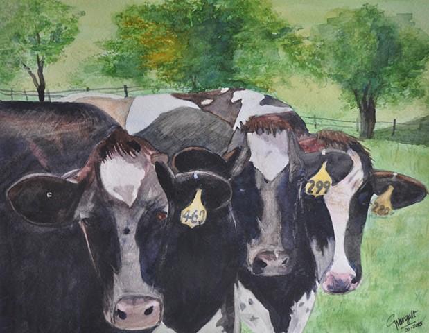 Amish Cows