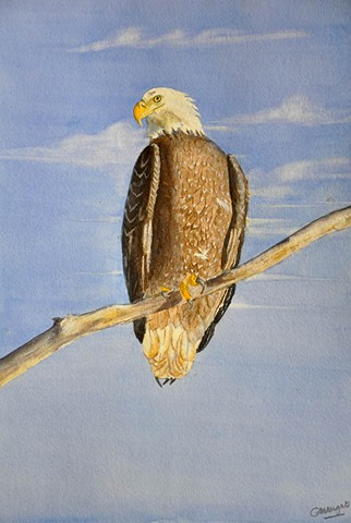 Bird of Prey - Bald Eagle