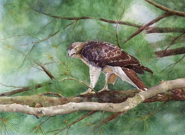 Brett's Red-tail Hawk