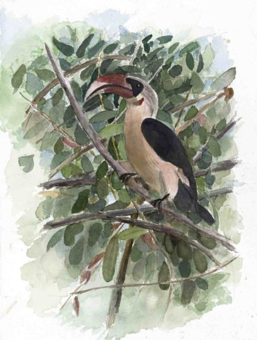 Black and White Hornbill