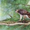 Brett's Red-tail Hawk