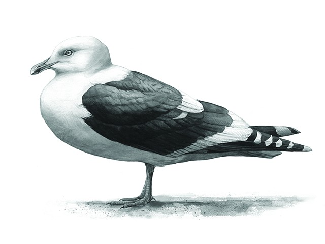 Slaty-backed Gull (adult) standing profile