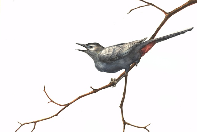 Gray Catbird with White