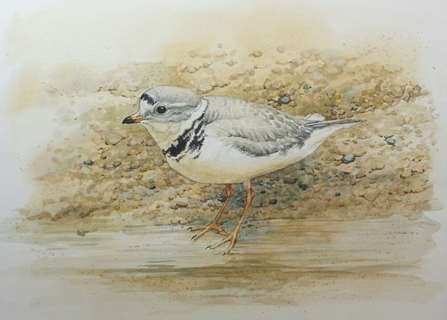 Piping Plover birds art painting watercolor