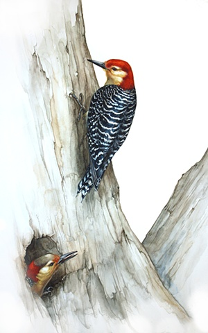 Red-Bellied Woodpeckers with White
