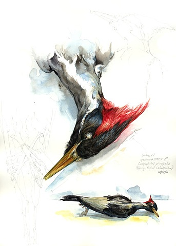 Ivory-Billed Woodpecker study page 1