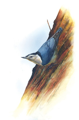White-Breasted Nuthatch with White
