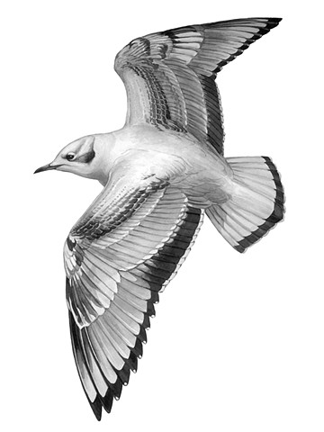 Bonaparte's Gull in flight (first-cycle)