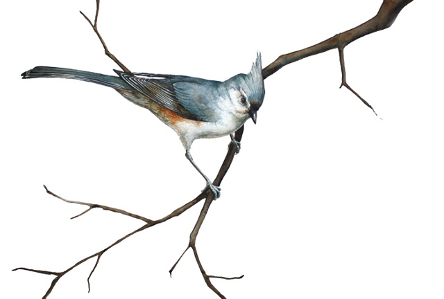 Tufted Titmouse with White