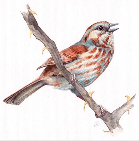 Song Sparrow study