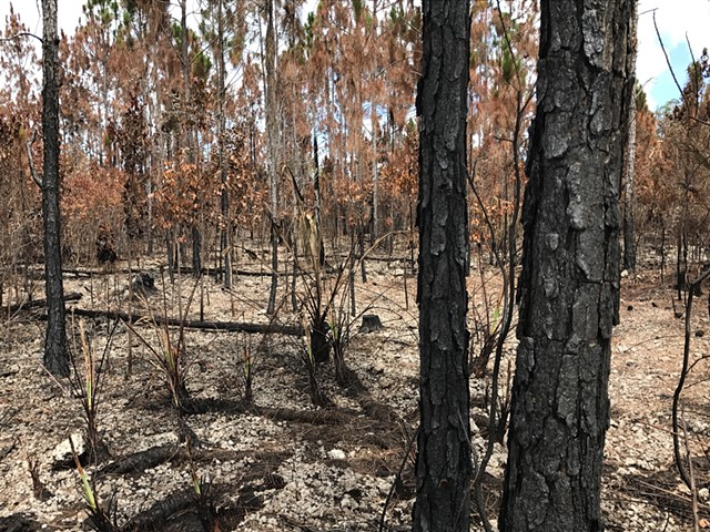 photo of burnt pine rocklands shortly after prescribed burn
