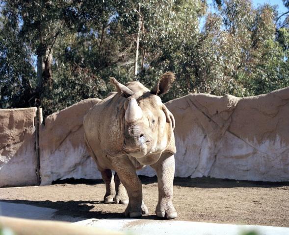 Rhino, San Diego