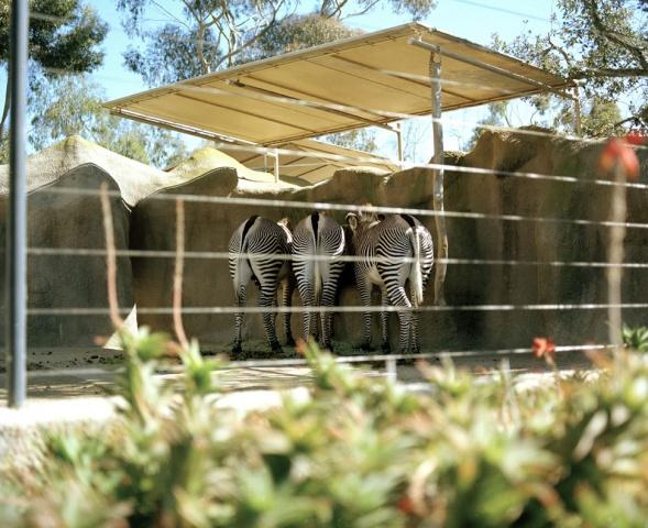 Zebras, San Diego