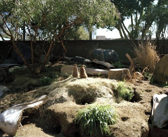 Meerkats, San Diego
