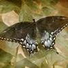 brooke's butterfly
