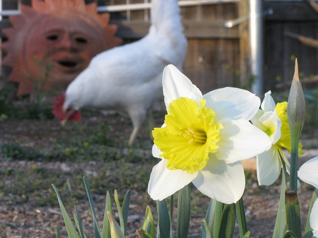 Daffodils, chickens, Leghorn, terra cotta sun, backyard chickens, greeting cards,