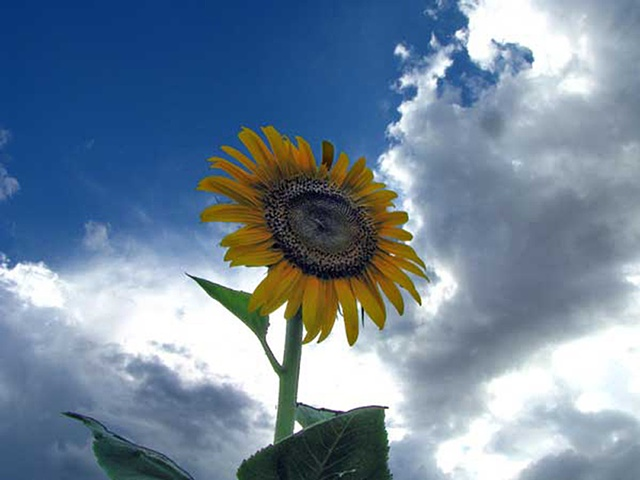 Note card, sunflowers, lemon, greeting card,clouds, really tall sunflowers