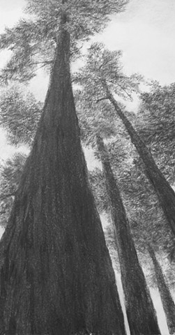 katherine meyer drawing charcoal redwoods california