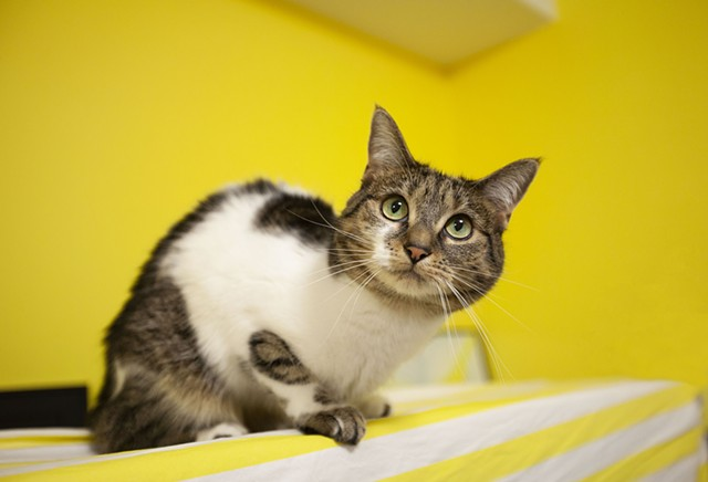 white and tabby cat in bright yellow room