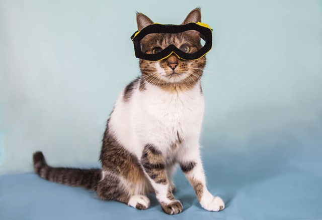 white and tabby cat on light blue backdrop wearing safety goggles
