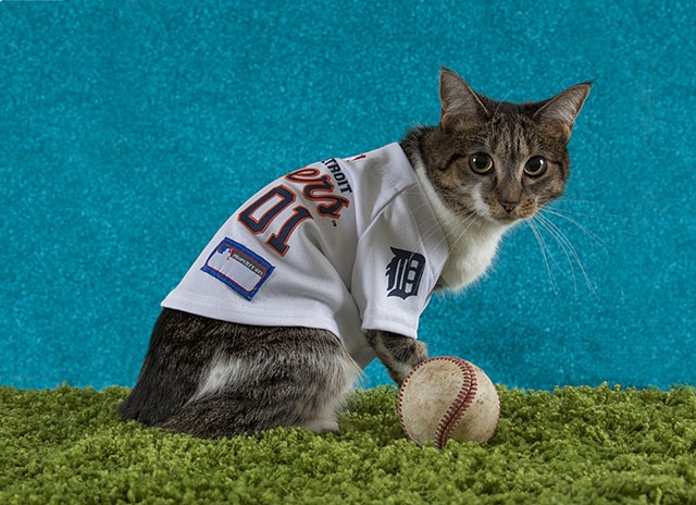 white and tabby cat on green faux-grass with blue background, wearing Detroit Tigers baseball jersey, with baseball resting on ground