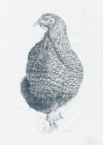 Chicken pencil drawing on paper by artist Chantelle Norton