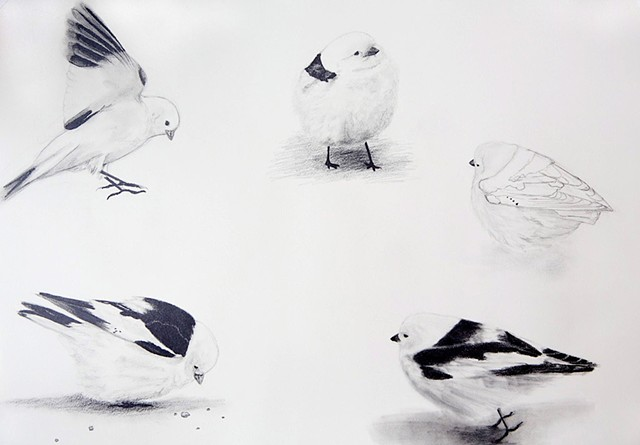 snow bunting studies, bird drawings from the alaska, arctic tundra birds blown out to sea, by chelsea clarke