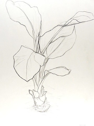 graphite drawing of a tropical banana plant, banana tree, house plant by Chelsea Clarke
