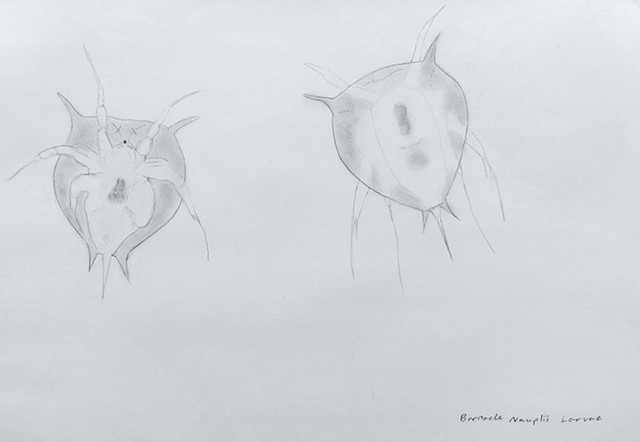 graphite natural history study of barnacle larvae, arctic plankton by Chelsea Clarke
