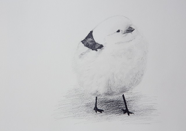 snow bunting black and white bird drawing by Chelsea Clarke